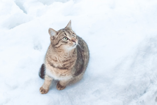 Gato gris hermoso de la calle en el fondo de la nieve, primer