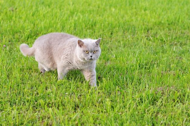Gato gris con ojos amarillos moviéndose por la hierba