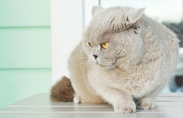 Gato gris con ojos amarillos