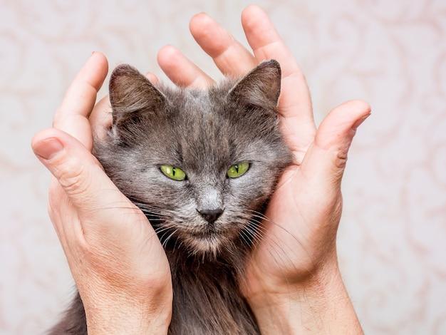 Gato gris con ojos verdes en abrazo de manos de mujeres. amor por las mascotas