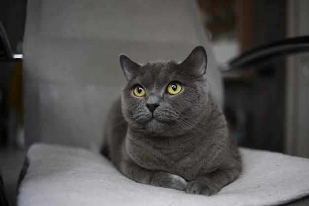 Gato gris pliegue escocés británico con brillantes ojos amarillos tumbado en una silla