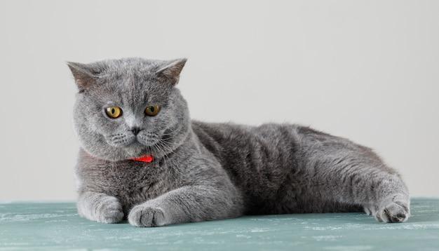 Gato gris relajante