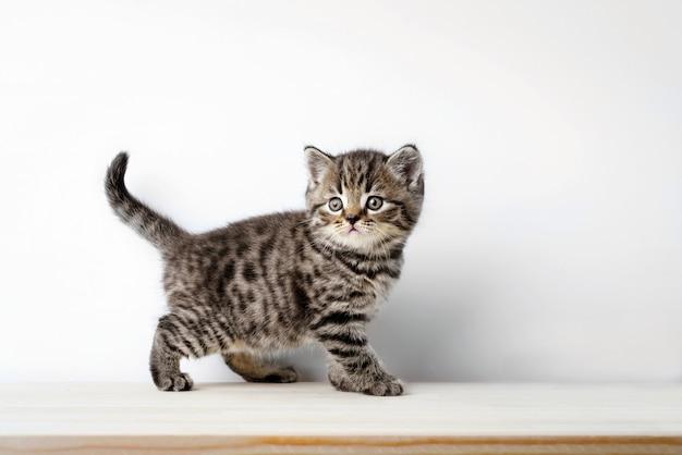 Gato gris sobre un escritorio de madera, gato escocés británico de pelo corto mira en la cámara