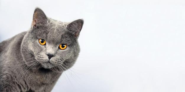 Gato gris sobre un fondo blanco, gato escocés recto mira en cámara