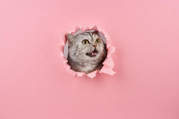Gato gritando en un agujero en el cartón rosa, concepto de comportamiento animal
