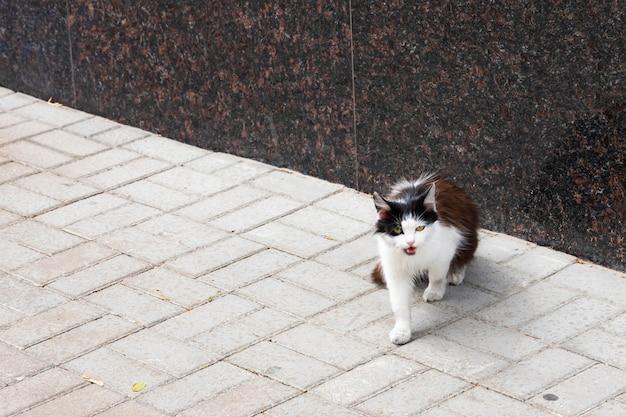 Gato sin hogar en una calle de la ciudad. gato blanco y negro hambriento callejero.