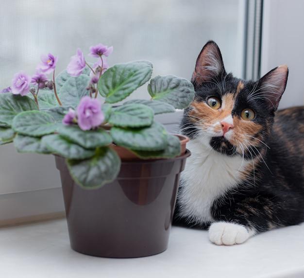 El gato y el hogar florecen en una maceta. animales y flores caseras. daño de las flores para gatos. gato tricolor
