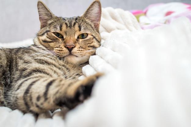 Gato infeliz acostado en la cama. de cerca