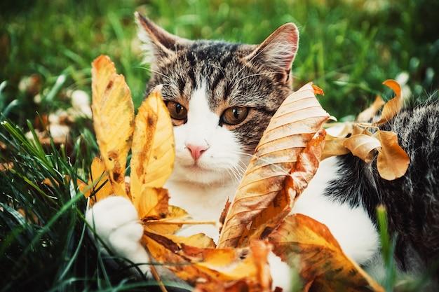 El gato de jardín yace sobre la hierba verde y juega con hojas de otoño amarillas