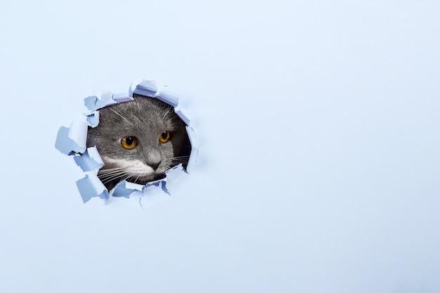 Gato lindo hermoso gris se asoma por un agujero en papel azul. copie el espacio.