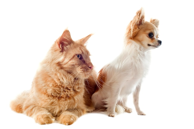 Gato maine coon y chihuahua