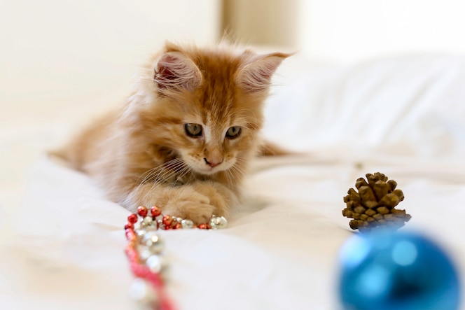 Gato maine coon gatito mintiendo y jugando con la decoración de navidad