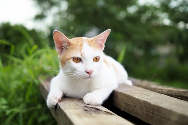 Gato marrón y blanco tailandés en madera vieja en jardín