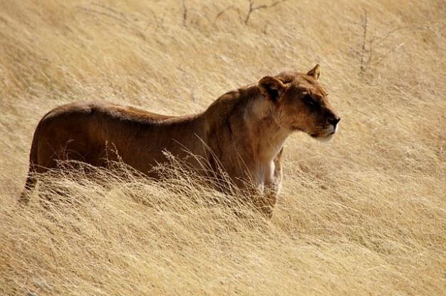 Gato montés mascotas naturaleza salvaje león leona