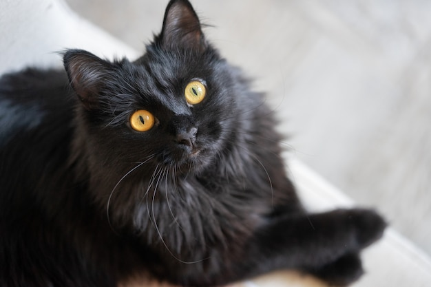 El gato negro elegante hermoso miente en una silla y mira para arriba al dueño.