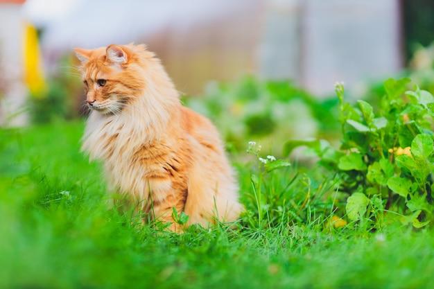 Gato de ojos verdes rojo que descansa sobre la hierba verde.