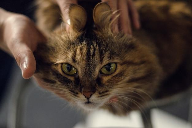 Gato con orejas graciosas. manos humanas tocan las orejas de un gato gordo muy guapo