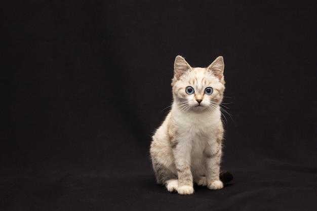 Gato peludo gris con ojos azules sobre fondo negro