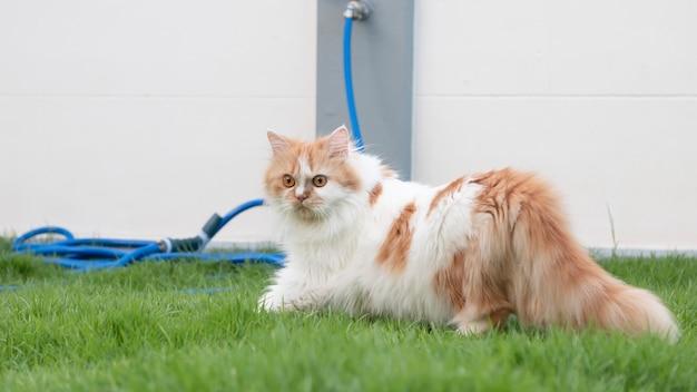 Un gato persa camina sobre la hierba afuera en el patio delantero y mira.