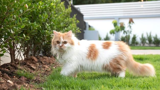 Un gato persa camina sobre la hierba en el patio delantero y mira.