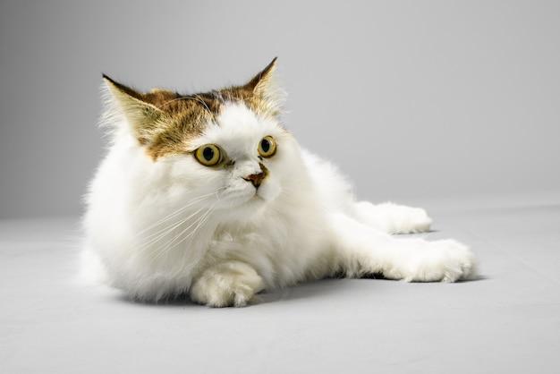 Gato persa contra la pared gris
