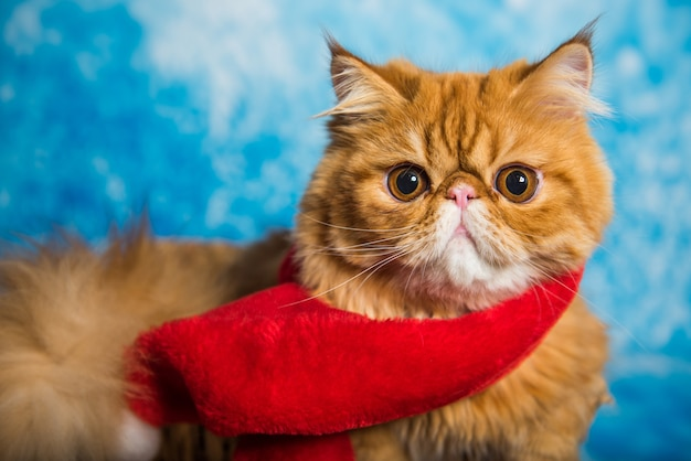 Gato persa rojo en bufanda roja de santa claus en navidad