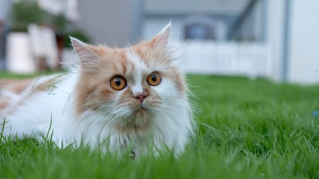 Un gato persa está tumbado en la hierba en el patio delantero y mirando