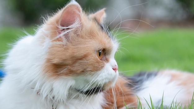 El gato persa yacía en el césped del jardín delantero y miraba fijamente.