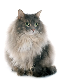 Gato persa
