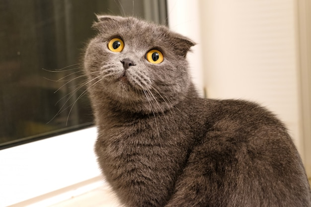Gato plegado británico plateado
