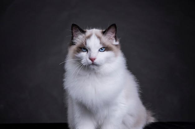 Gato ragdoll con ojos fríos
