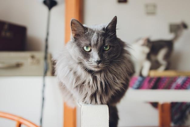 Un gato ragdoll sentado en el borde de un sofá.