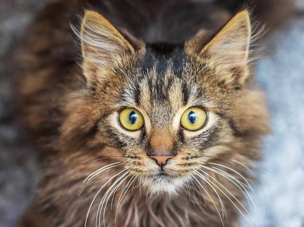 Gato rayado joven con una mirada fija en el fondo oscuro