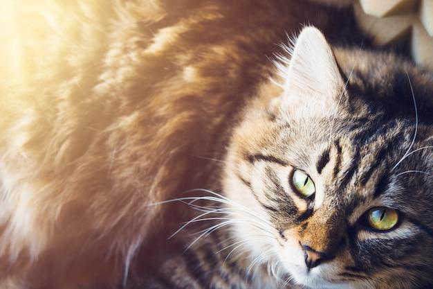 El gato recostado mira hacia arriba
