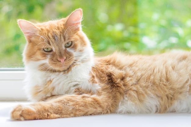 Gato rojo acostado en el alféizar de una ventana