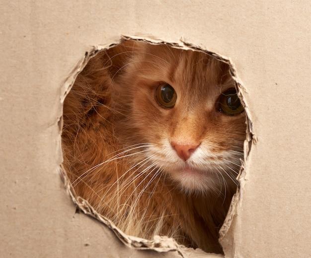 Gato rojo adulto asoma a través de un agujero en una hoja de cartón marrón