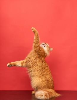 El gato rojo adulto salta y levanta las patas sobre un fondo rojo