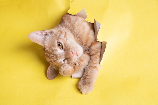 Gato rojo en agujero de papel amarillo, espacio de copia