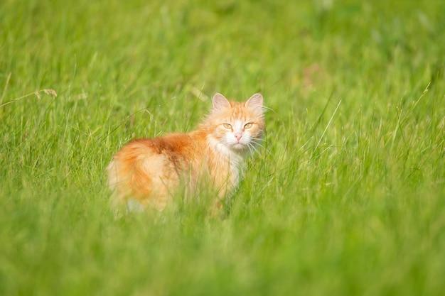 Gato rojo camina bajo el sol en el césped sobre la hierba