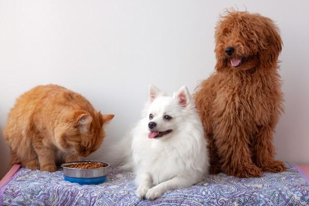 El gato rojo está comiendo comida del tazón junto al pequeño pomerania blanco y el caniche marrón rojo en miniatura está sentado.