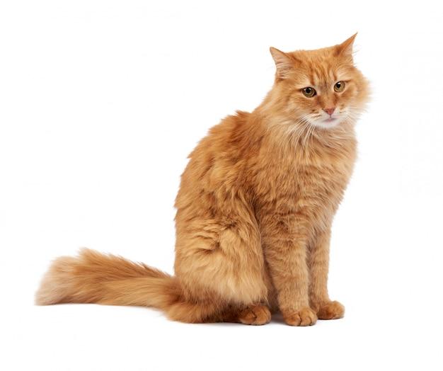 El gato rojo esponjoso adulto se sienta de lado, cara linda