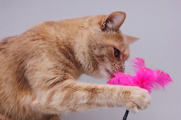 Un gato rojo jugando con un juguete para gatos con plumas rosas. es divertido jugar con mascotas.