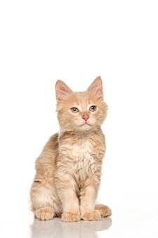 Gato rojo o blanco sobre fondo blanco de estudio