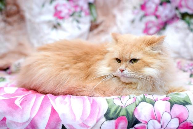 Gato rojo persa esponjoso