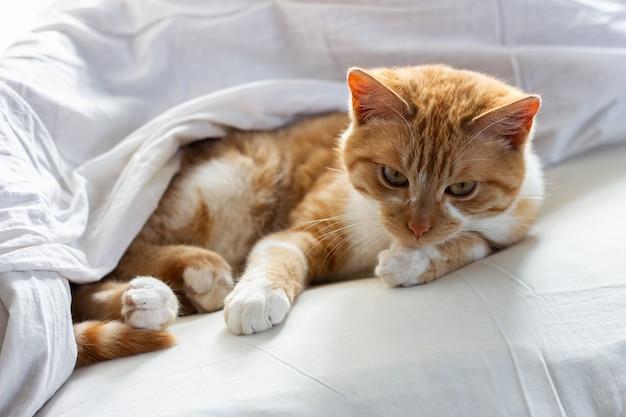 Gato rojo que duerme en una manta blanca. perezoso gato rojo durmiendo en ropa de cama. gato rojo durmiendo