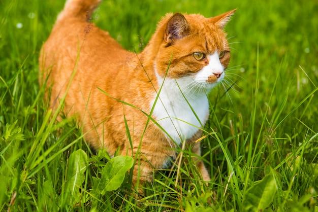 Gato rojo está sentado en la hierba verde de cerca