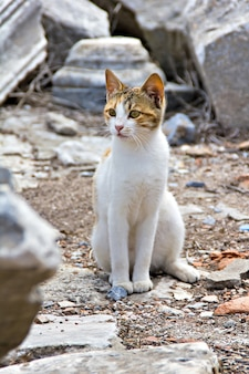 Gato en ruinas de la antigua ciudad de éfeso turquía