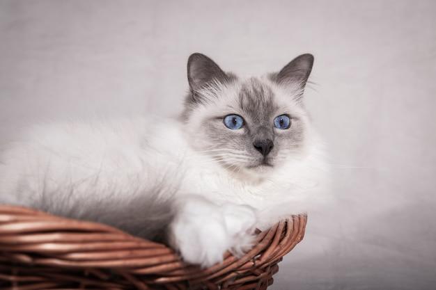 Gato sagrado birma en la cesta mirando hacia adelante. copia espacio