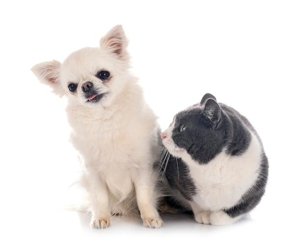 Gato salvaje y chihuahua delante de superficie blanca