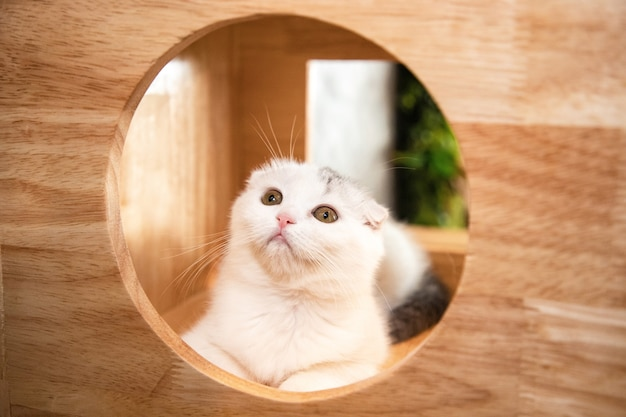 Gato scottish fold blanco sentado en una hermosa casa de madera para gatos y mirando a la cámara en la sala de estar